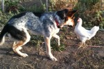 Our dog and our chicken became buddies